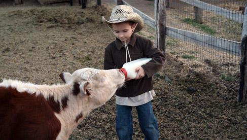 Feeding a calf at Rankin Ranch, California Cattle Ranch & Guest Ranch