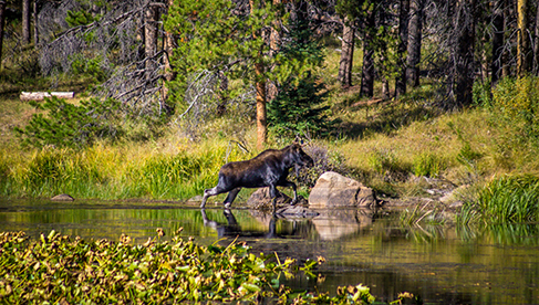 A moose along the trails at Rawah Guest Ranch Colorado