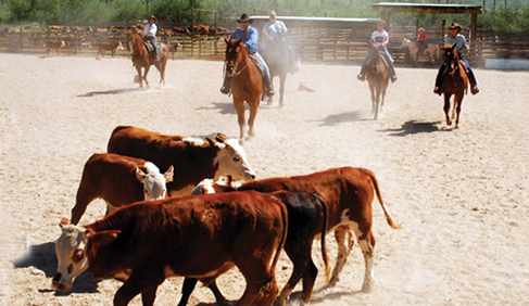 Team Penning is a fun way to enjoy your dude ranch experience at Tanque Verde Ranch- Arizona Dude Ranch.