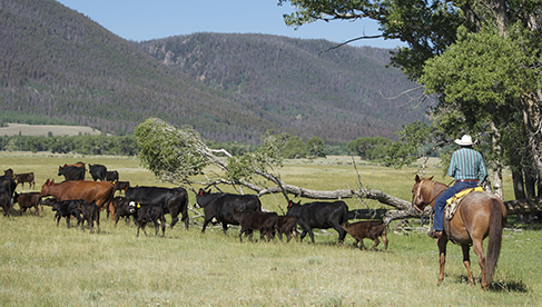 Vee Bar Guest Ranch Cattle Work