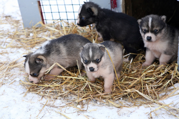 dog sledding puppies