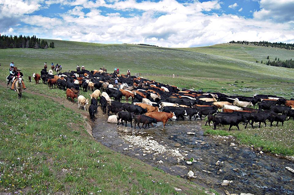 Doublerafter Cattle Drives Wyoming