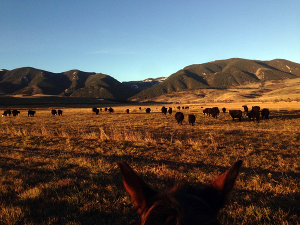 eatons ranch october cattle work