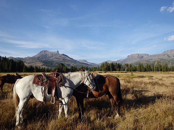 horses resting after trail ride in yellowstone national park