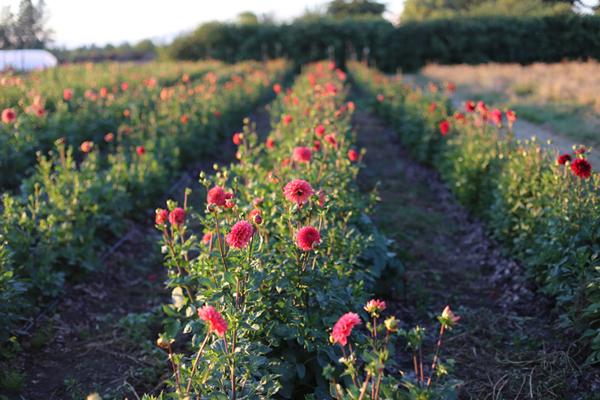 flowers rows floret
