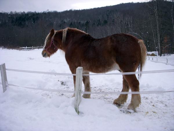 gentle giants horses