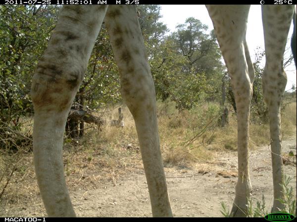 Giraffe in the Okavango