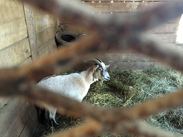 goat stallmates old friends farm