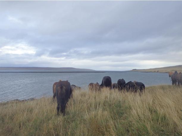 free running herd of icelandic horses