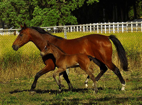 holsteiner mare with foal