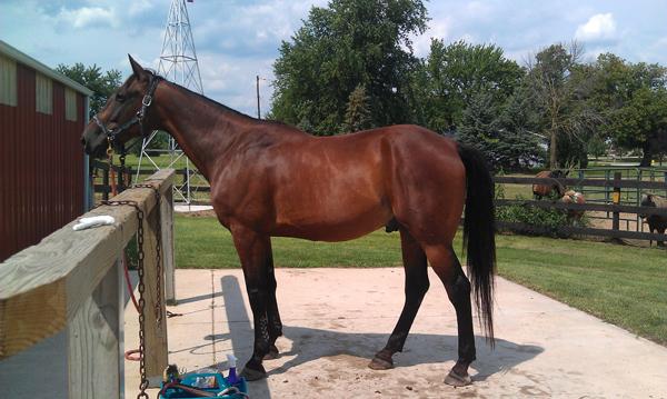 homie American Standardbred horse