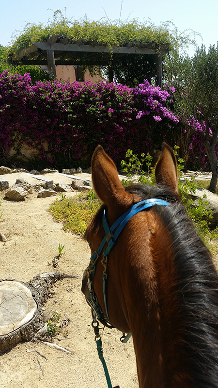 between the ears view from horseback of spanish bougainvillea in catalonia