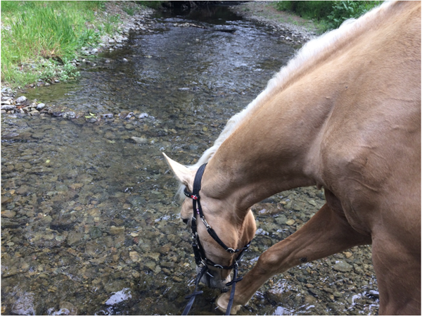 palomino drinks from horokiri stream at battle hill forest park in new zealand