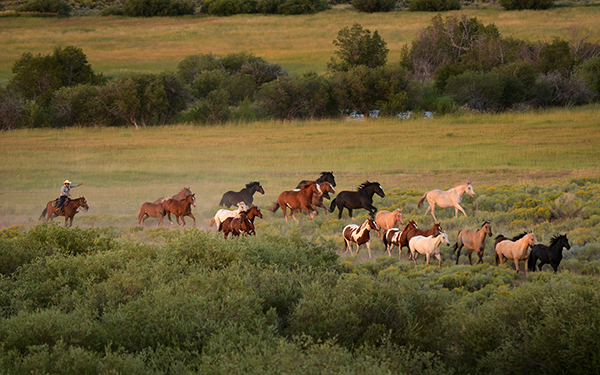 horses coming in from the pasture laramie River Ranch Colorado