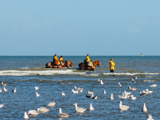 Fishing for Shrimp North Sea with Horses