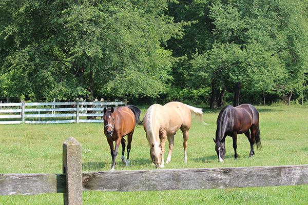 horses grazing in fields