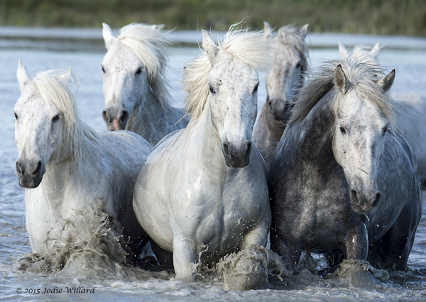 Horses Of Camargue Photography Tour Galloping
