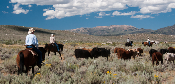 California cattle drive vacation Hunewill Ranch