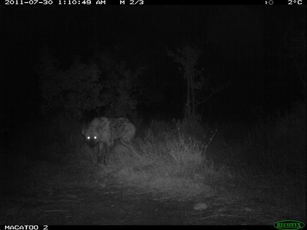 Hyena at night in the Okavango