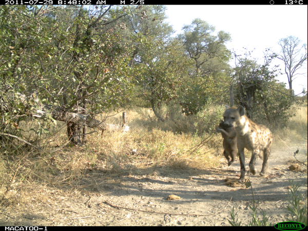 hyena during the day in the Okavango