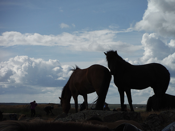 Iceland horse travels