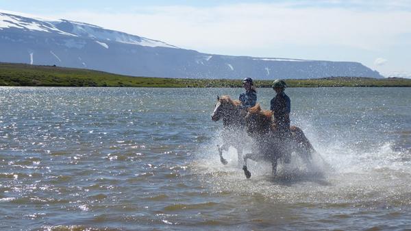 equestrians riding icelandic horses in the ocean