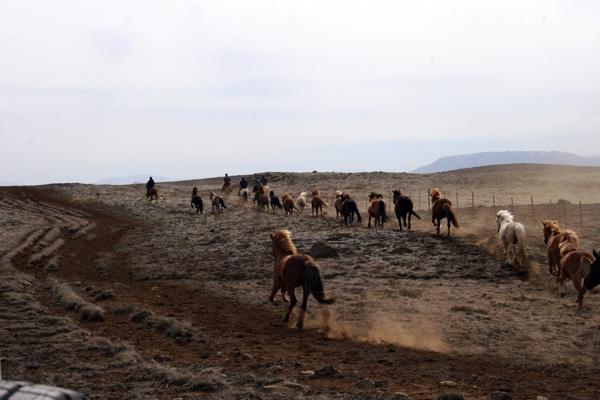 Iceland horse herding