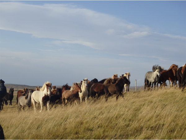 herd of icelandic horses being gathered for the auction