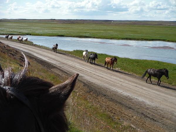 Icelandic horse through the ears
