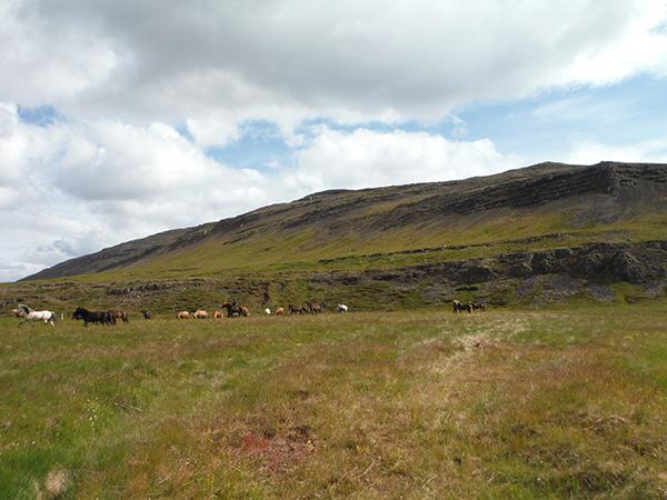 Icelandic horse equestrian