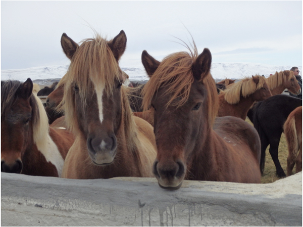 horses at annual icelandic horse auction