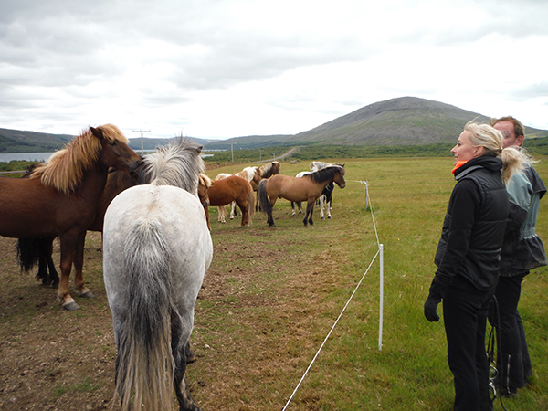 picking Icelandic horses