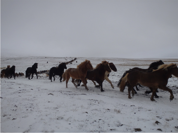 icelandic horses are moved down from the mountains for the auction