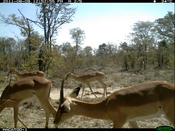Impala Okavango Delta