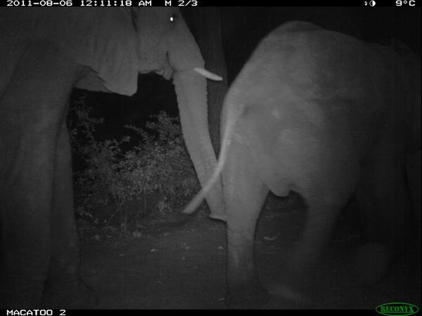Okavango Delta elephant at night