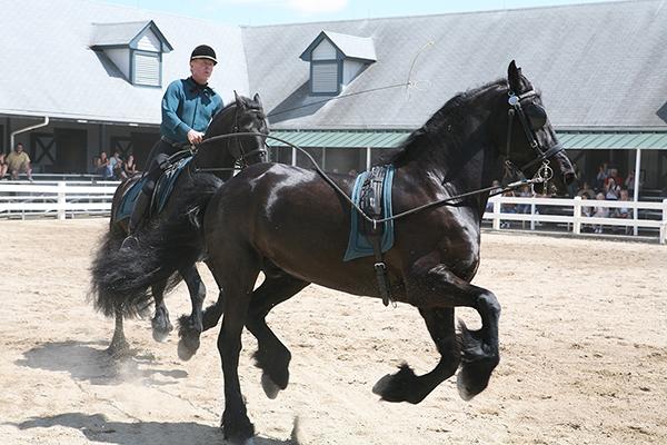 Kentucky Horse Park Friesians