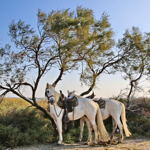 Les Arnelles Camargue Horses Tied
