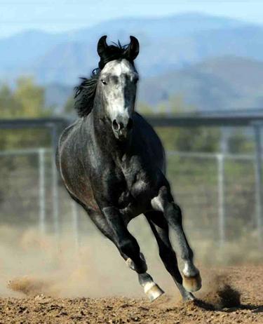 marchador horses