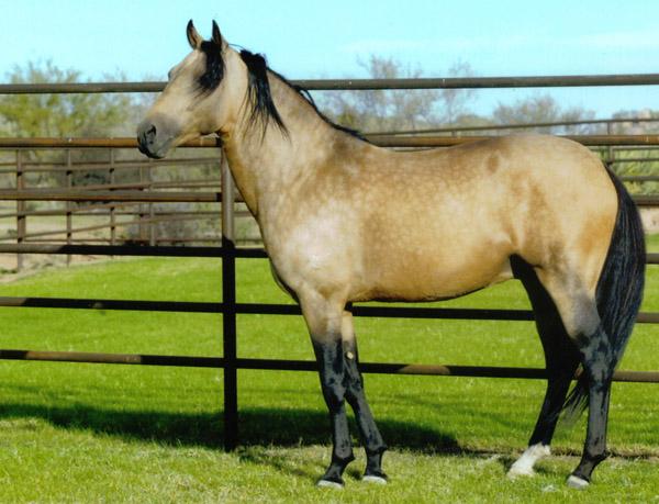 Marchador horse