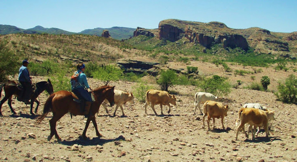 mexico cattle drive equitrekking