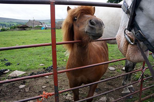 mini horse uk england