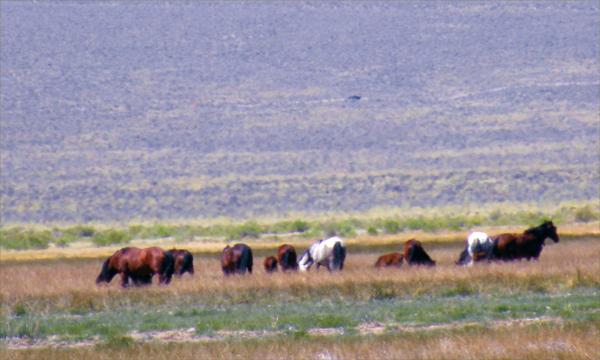 Montgomery Pass Wild Mustangs