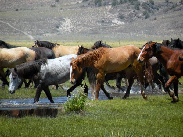 Wild Mustangs Montgomery Pass
