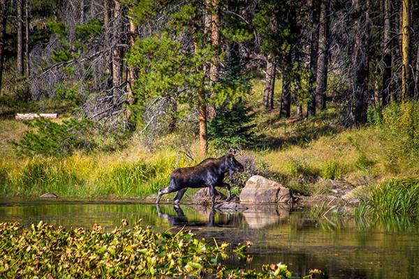 Rawah Ranch moose Colorado