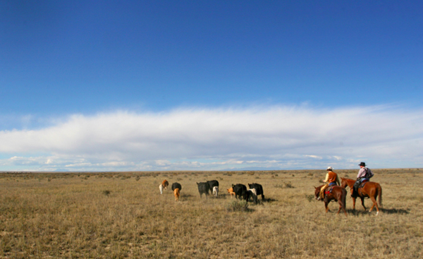 morning cattle drive
