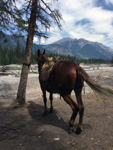 pack mule in banff national park, canada