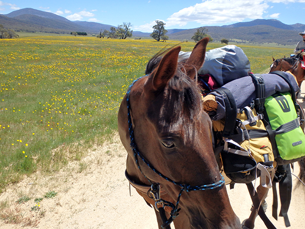Ned standardbred rescue