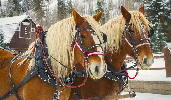 belgian draft horses pull sleigh in snow at c lazy u ranch