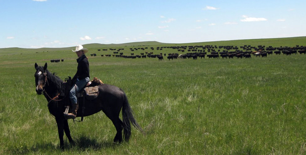 new haven ranch cattle drives