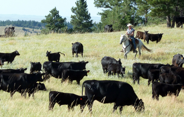 new haven ranch wyoming cattle drives